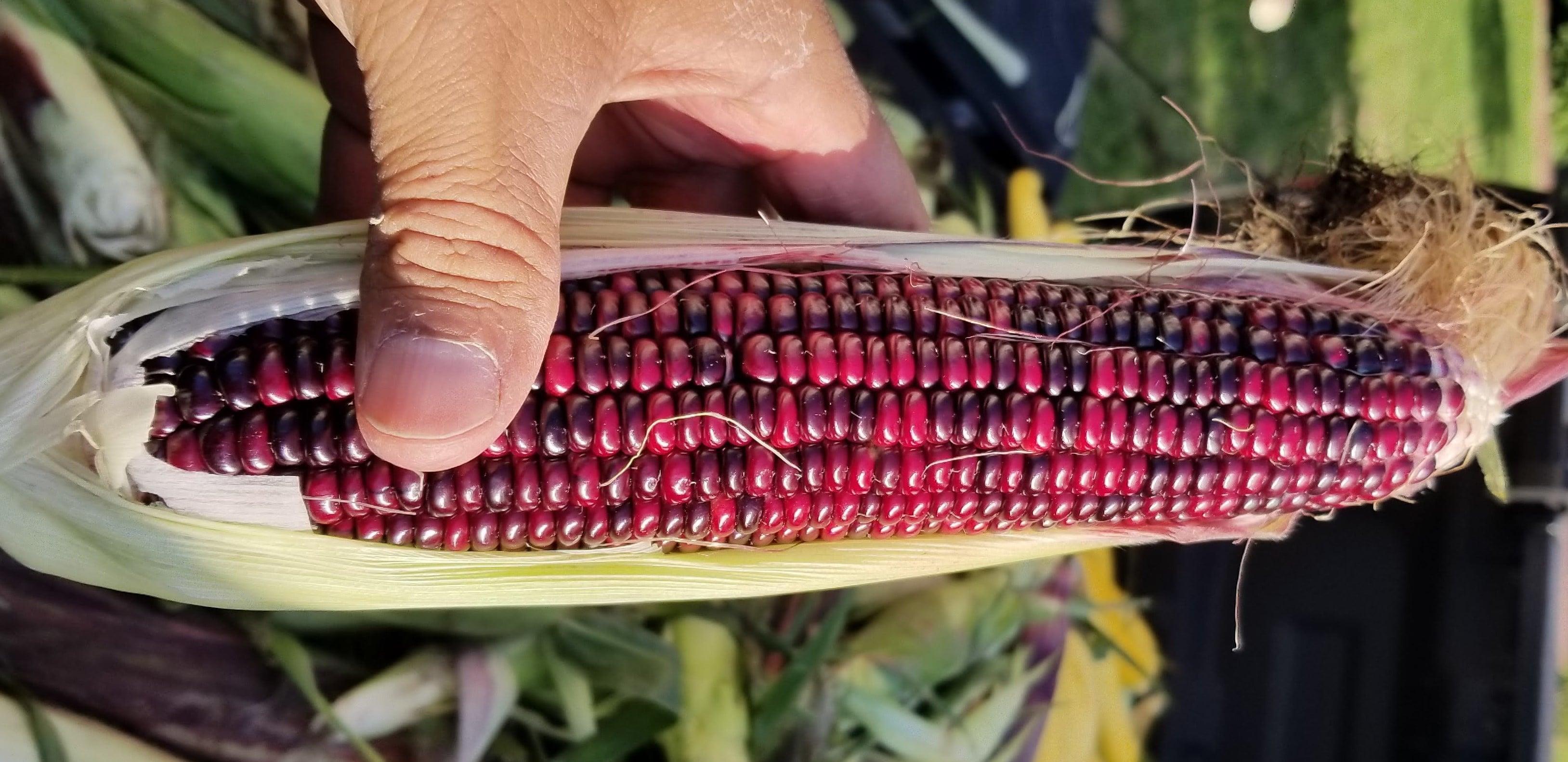 Spring 2020 Rainbow Flint Seed Corn Drop Off Schedules