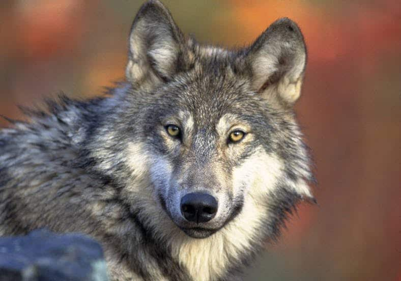Management and Protection of Gray Wolves returns to States and Tribes Following Successful Recovery Efforts